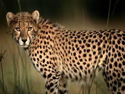 Am I A Cheetah?