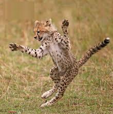 Where Are Most Cheetahs Found?