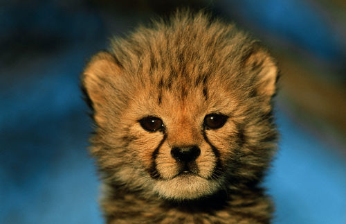 What Color Are Cheetah Cubs?