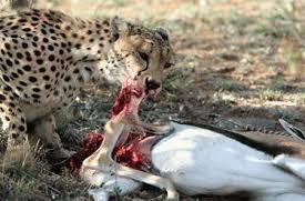 When Hunting, How Do Cheetahs First Bring Their Victims Down?