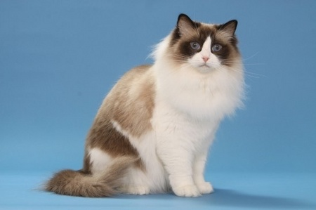 Choosing the Right Cat Breed