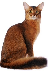What breed of cat is this?