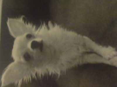 Which celebrity owns this chihuahua?