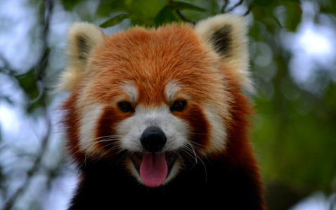 Red Panda's are native to where?