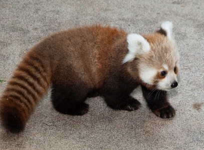 The Red Panda's main diet is?