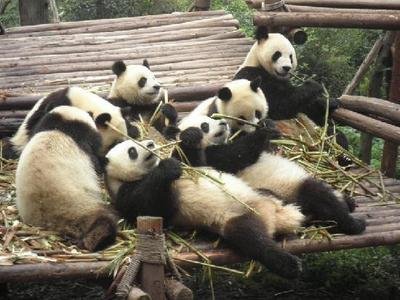 What do wewe call a group of pandas?