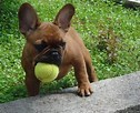 This is a French Bulldog ?