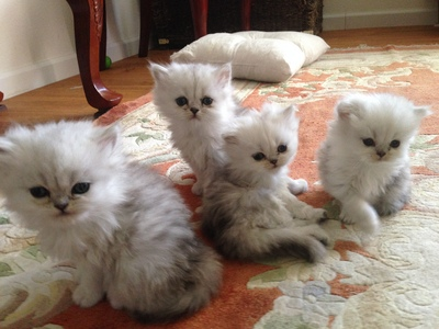 These little Ones Are Ragdoll mga kuting ?