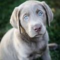 Labradors can be Silver ?