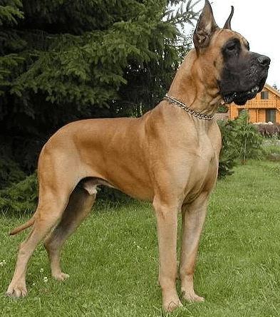 The Great Danes genes are found in many breeds, which breed does not carry their blood?