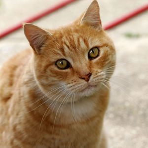 How long have Cats been domesticated for?