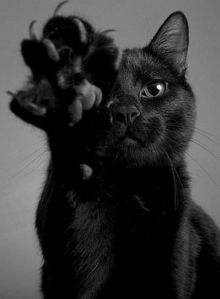 According to many cultures and history, the significance of black gatos were considered supertious and affiliated with witchcraft and evil