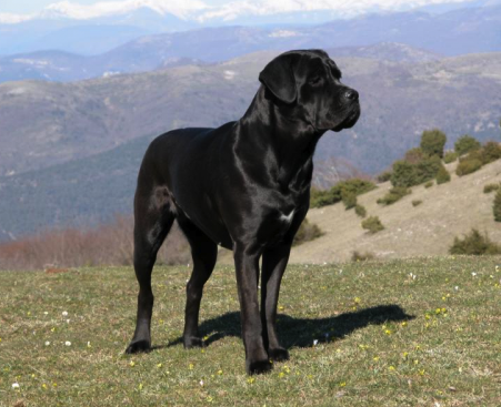 """What does """"Cane Corso"""" mean in English?"""