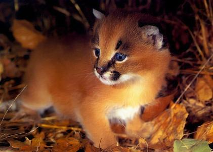 The word Caracal is from a Turkish word which means ...?