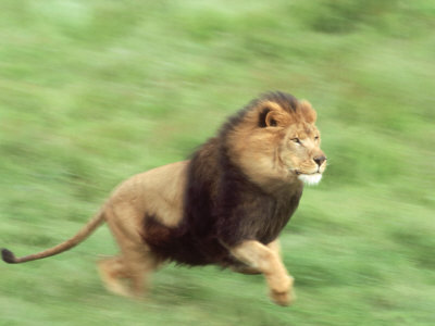 A lion can run up to a maximum speed of ___________ per hour.