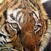 TigersRule1105 photo