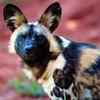 African Painted Dog :) Flutey_Girl96 photo