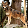 """Who said gray wolves are the only """"pawsome"""" wolves? Wolf_Tamer photo"""
