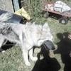 My little wolf mutt <3  Wgeraredtv photo