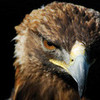 Golden Eagle TheLefteris24 photo