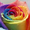 rainbow rose greyswan618 photo