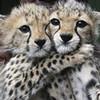 cheetah cubs hugging greyswan618 photo