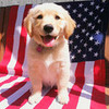 patriotic puppy 3 greyswan618 photo