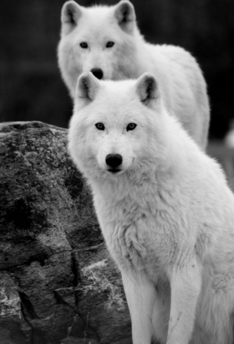 Beautiful White lobos