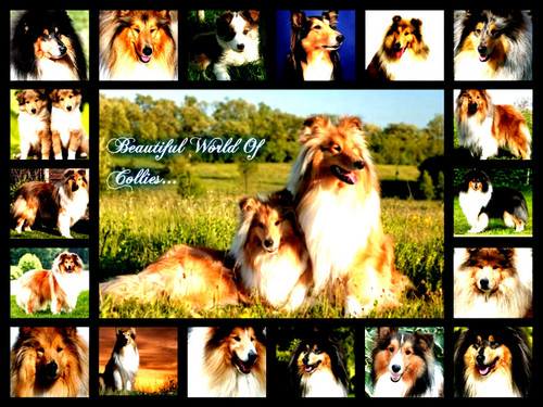 collage collies