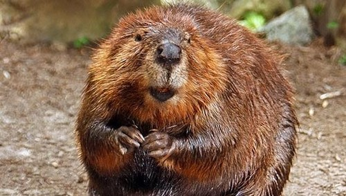 the mighty beaver
