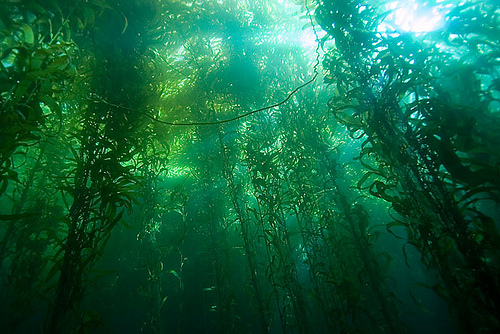 kelp forest wallpaper oceans images kelp forest wallpaper and background 322
