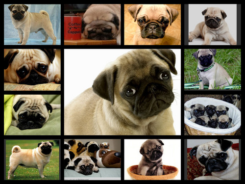 pugs galore collage