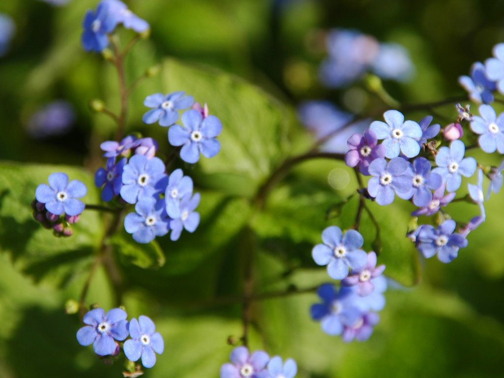 Beautiful Blue Forget-Me-Not Flower