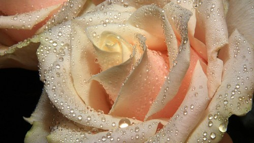 rained/ Frozen rose