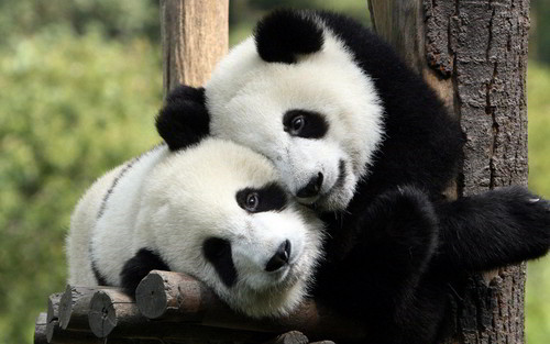 Cute Black and White Panda