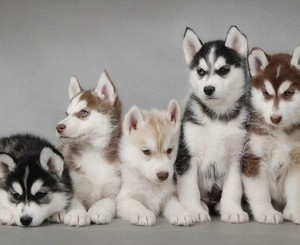 Cute Husky cachorrinhos