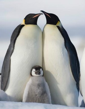 penguin pair with their baby penguin