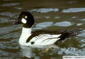 male common goldeneye pato in the pond
