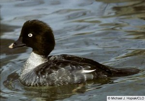 female common goldeneye duck swimming along