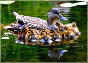 mama mallard duck with all their babies