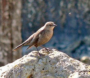 a female Brewer's blackbird on a rock