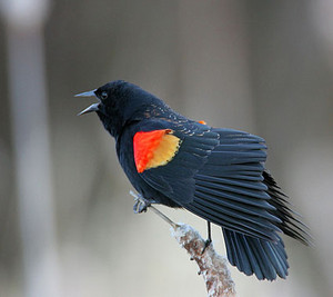 another male red winged blackbird