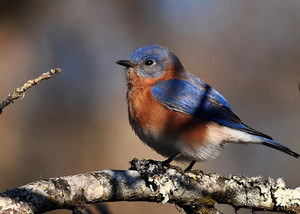 male eastern bluebird sitting on a branch