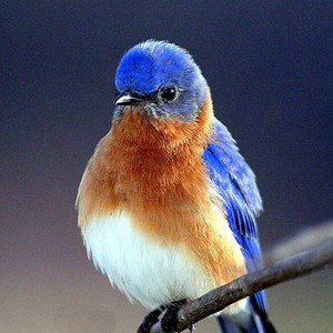 a beautiful oiseau bleu, bluebird lookin so pretty