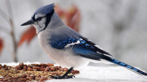 bluejay lookin for a snack