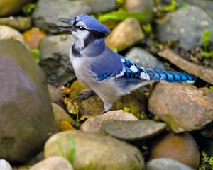 bluejay standing on some rocks