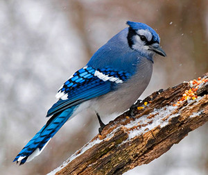 bluejay perched on a part of a tree