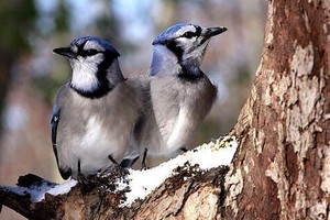 bluejay pair sittin on a tree branch