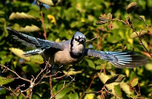 bluejay about to take flight