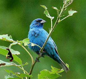 male indigo bunting bird